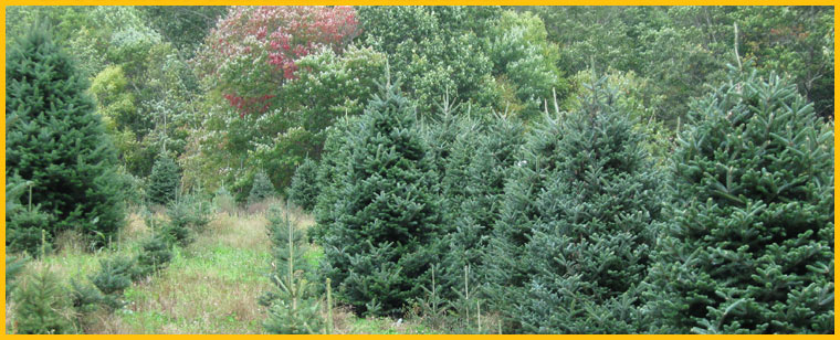Your Own Christmas Tree In NC - NC Choose N Cut Tree Farm