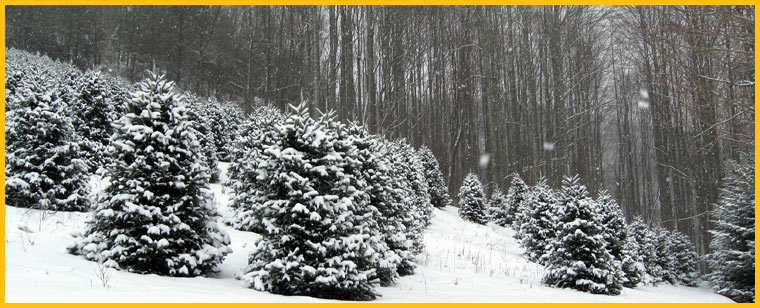 Cornett and Deal Christmas Tree Farm|NC Christmas Tree Farms